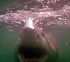 Der weisse Hai. Foto: Michael Dunker